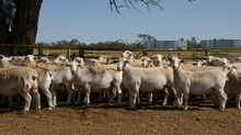 Australian White Dorper Flock