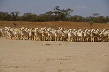 Australian White Dorpers