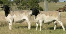 Dorper Sheep in Australia